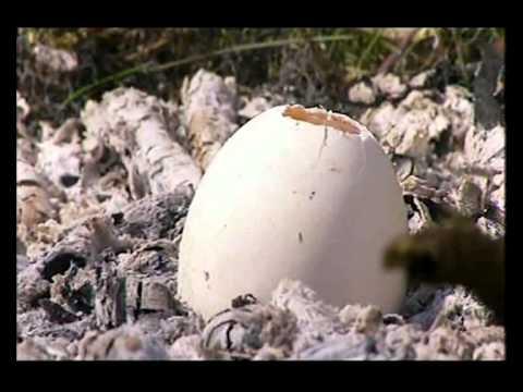 cooking wild eggs