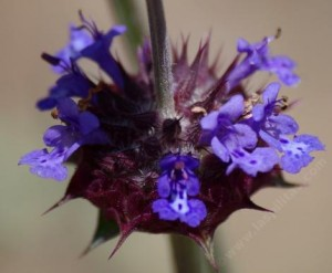 This is the flower that contants 13 seeds
