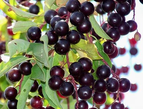 Chokecherries An Edible Fruit Preparedness