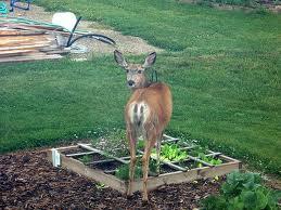 deer problems