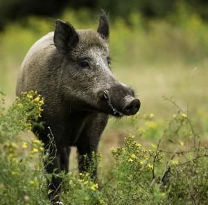 hunting wild hogs