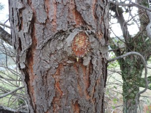 Here you can see resin from where a small limb was cut off.  You will often find resin at spots where the tree has been injured.  Resin can burn well.