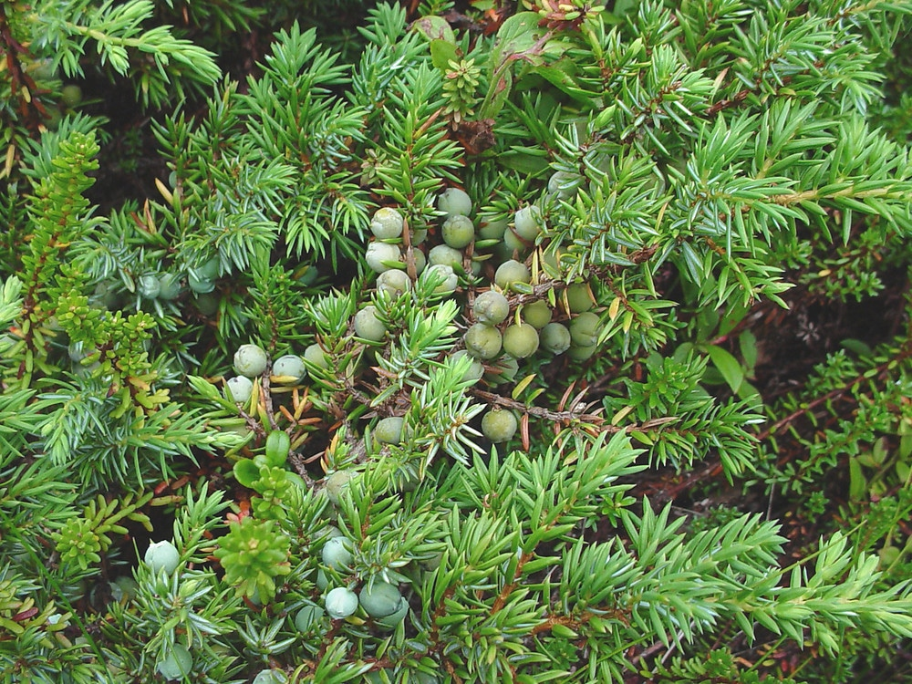 Juniper berries another useful edible plant for The juniper