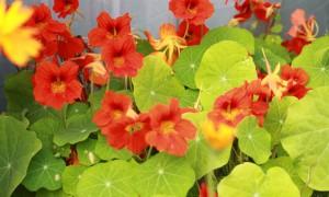 edible ornamental flowers