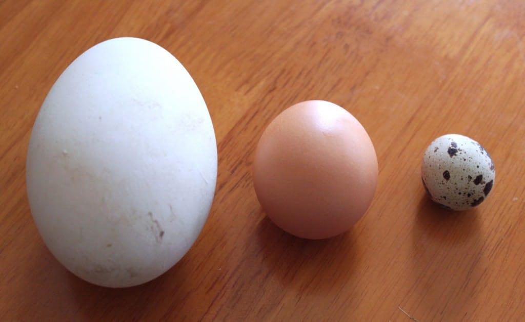 wild bird eggs