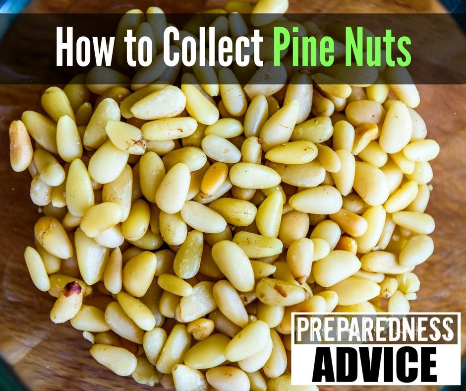 How to Collect Pine Nuts